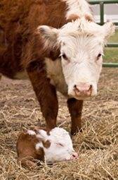 Click here to learn more about our Cow/Calf Production services